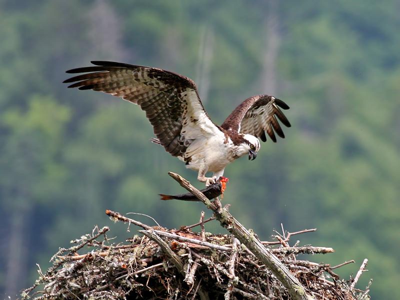 IMG_2027 Osprey.jpg