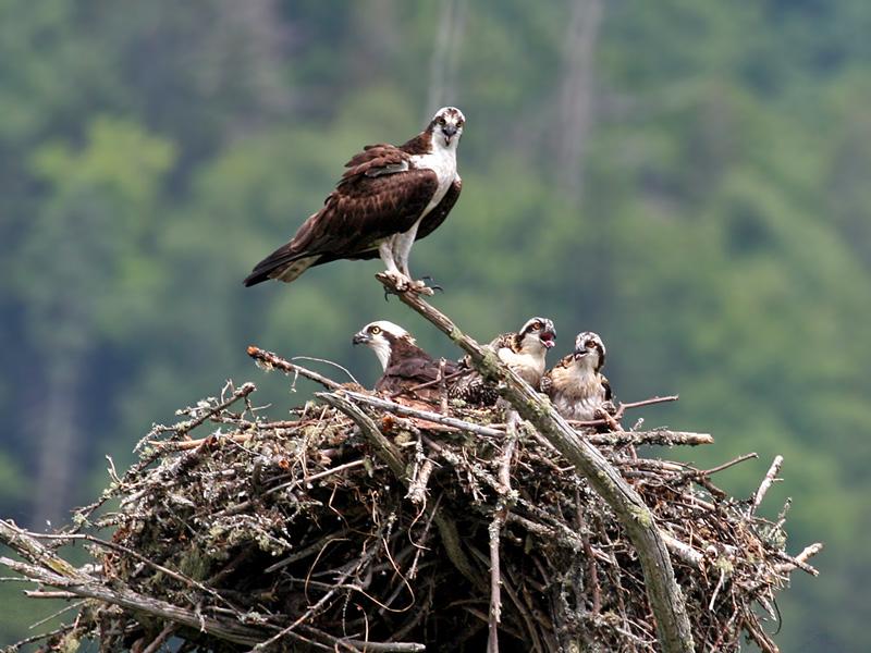 IMG_2104 Osprey.jpg