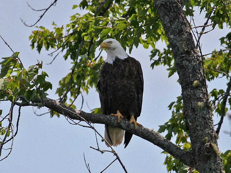 IMG_7810 Bald Eagle.jpg