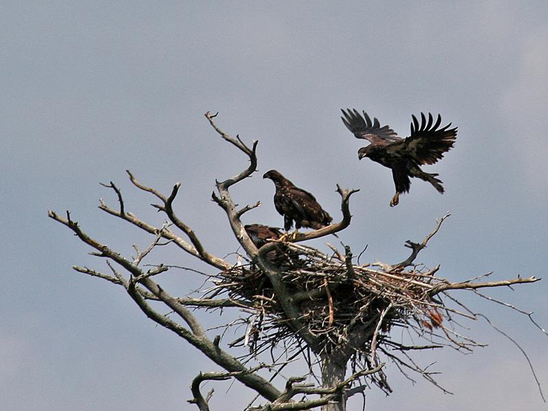 IMG_7868 Bald Eagles.jpg