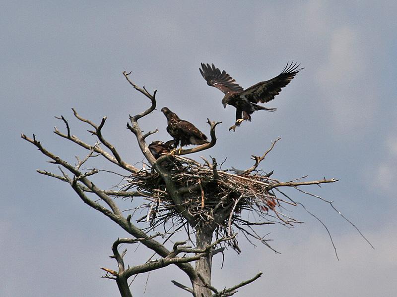 IMG_7870 Bald Eagles.jpg