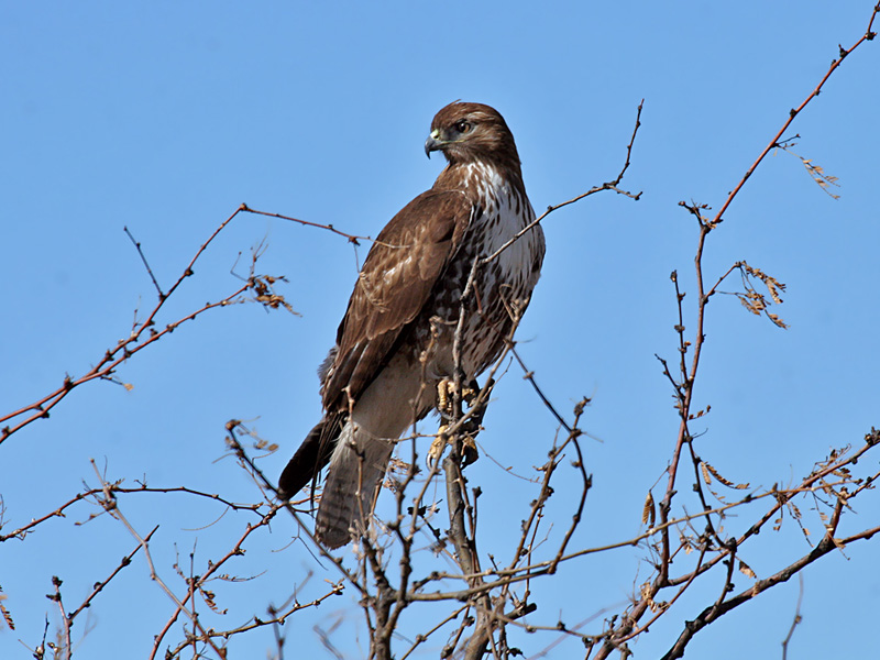 IMG_3376 Red-Tailed Hawk.jpg