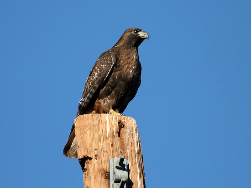 IMG_0566 Red-tailed Hawk.jpg