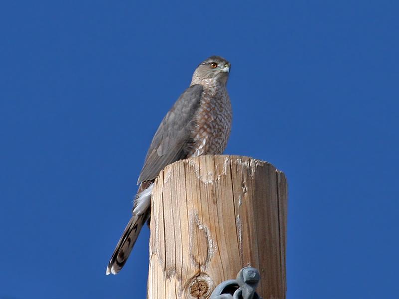 IMG_3245 Coopers Hawk.jpg