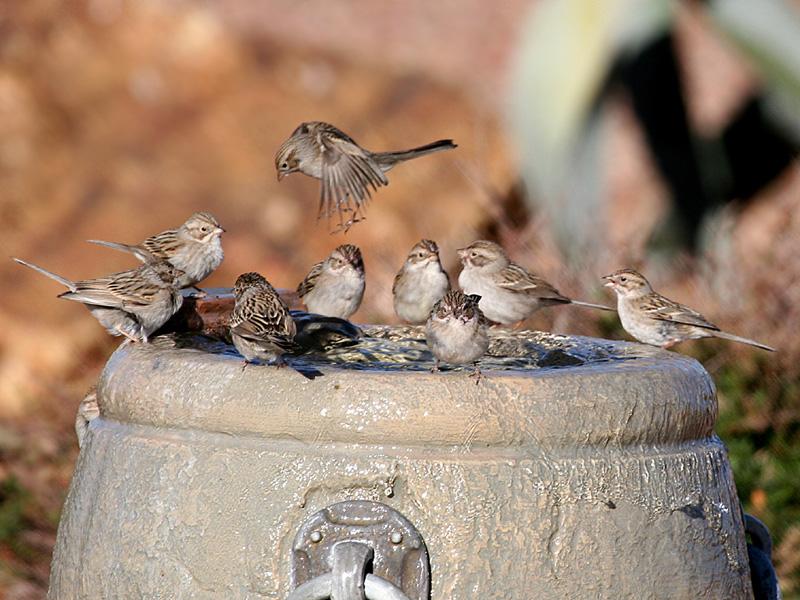 IMG_9815 Brewers sparrows.jpg