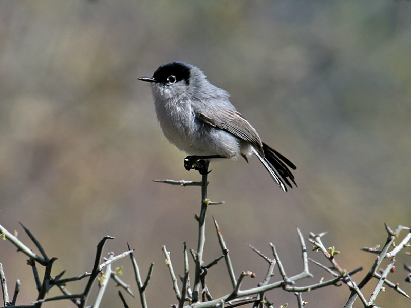 IMG_2606 Black-tailed Gnatcatcher.jpg
