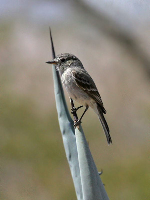 IMG_2958 Gray Flycatcher.jpg