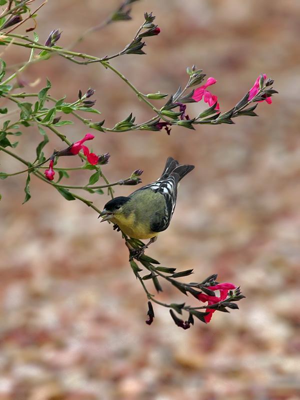 IMG_1753 Lesser Goldfinch.jpg