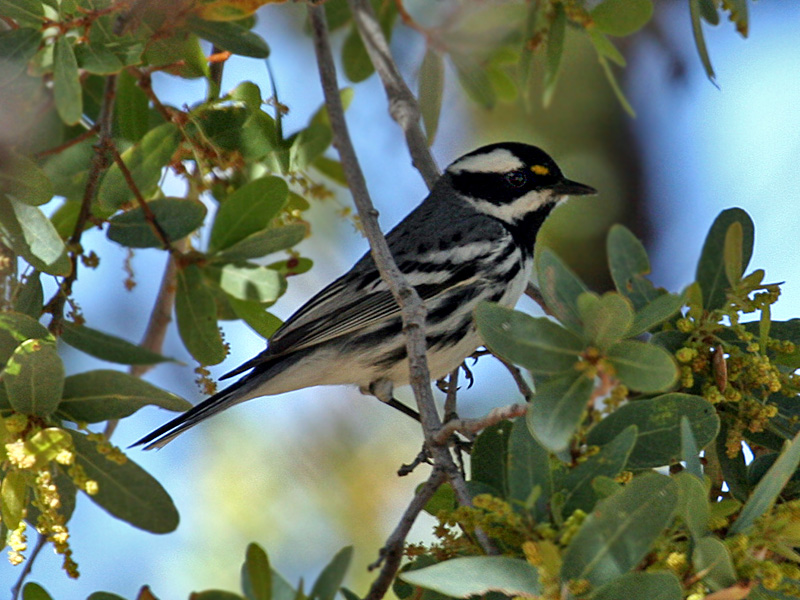 IMG_4580 Black-throated Gray Warbler.jpg
