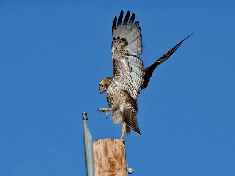 IMG_4512 Red-Tailed Hawk juvenile.jpg