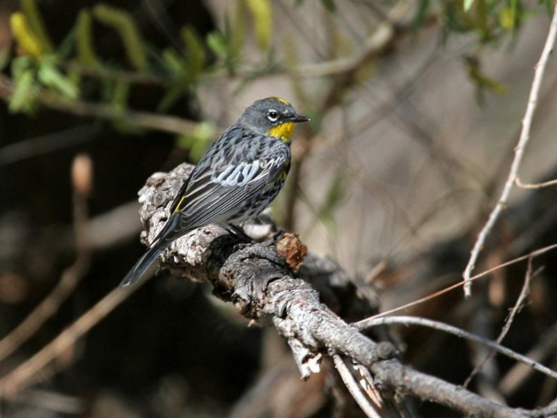IMG_2656 Yellow-rumped Warbler.jpg