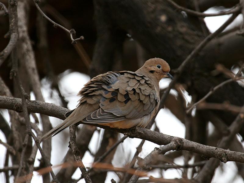IMG_0502 Mourning Dove.jpg