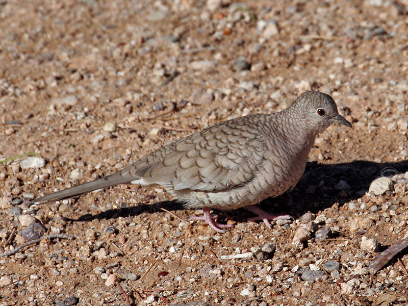 IMG_3259 Inca Dove.jpg