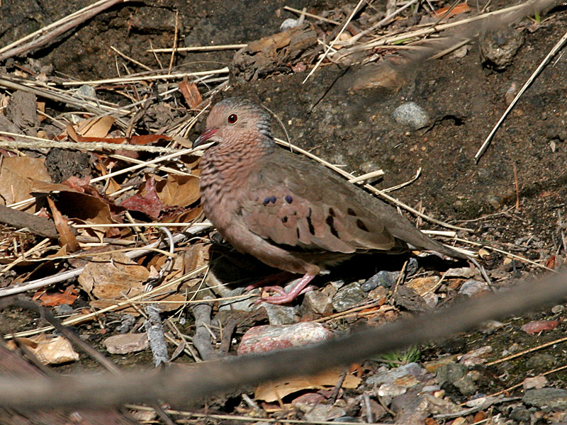IMG_2558 Common Ground Dove.jpg