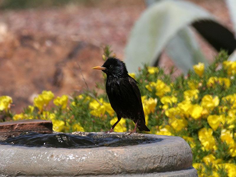 IMG_5323 European Starling.jpg