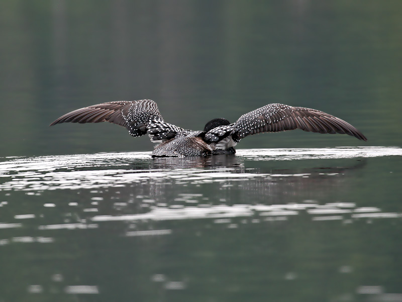 IMG_0769 Common Loon.jpg