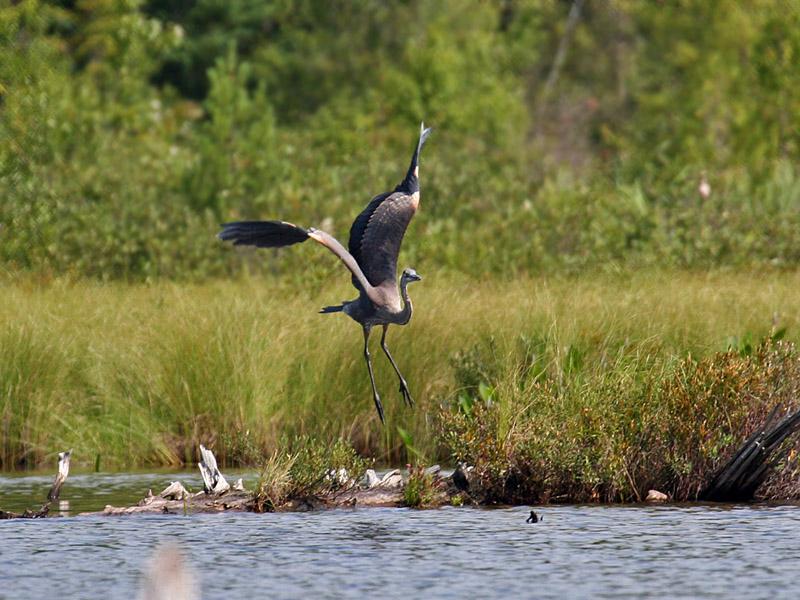 IMG_2685 Great Blue Heron.jpg
