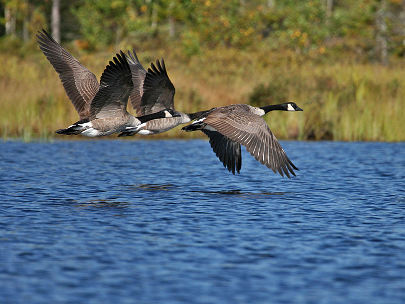 IMG_9417 Canada Geese.jpg