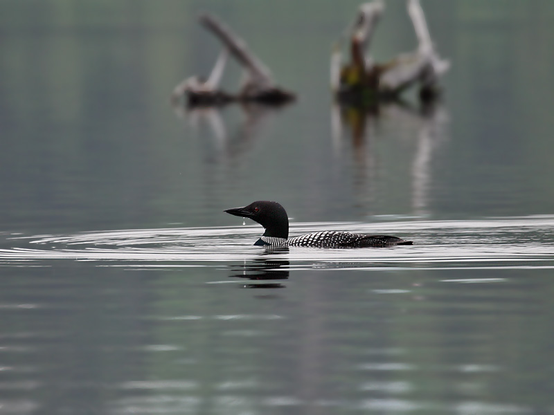 IMG_0763 Common Loon.jpg