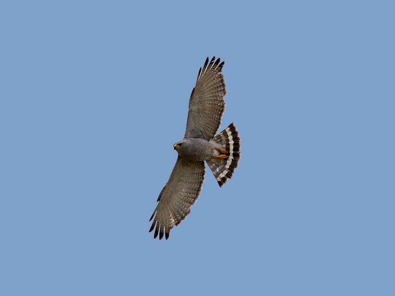 IMG_8842 Gray Hawk.jpg