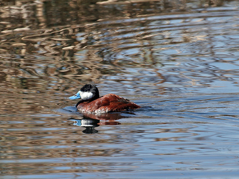 IMG_7238 Ruddy Duck.jpg