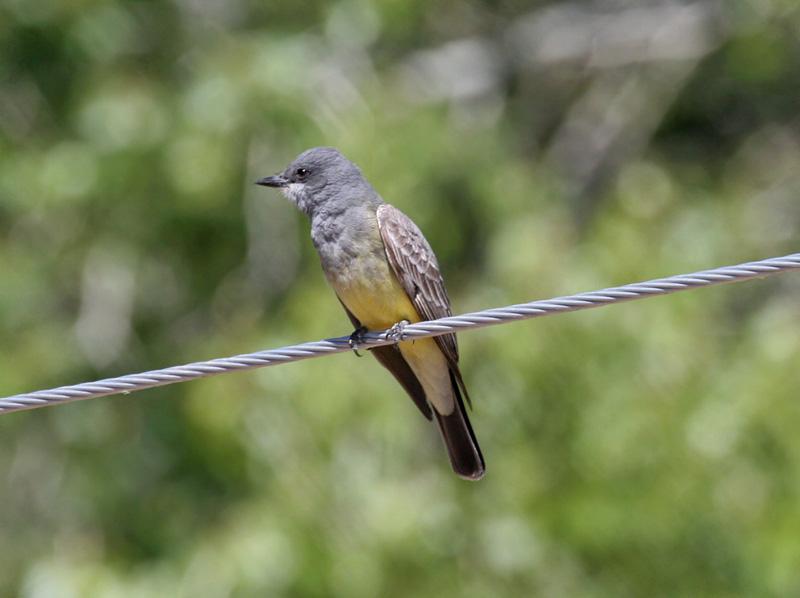 IMG_8446 Cassins Kingbird.jpg