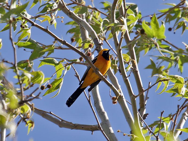 IMG_0063  Hooded Oriole.jpg