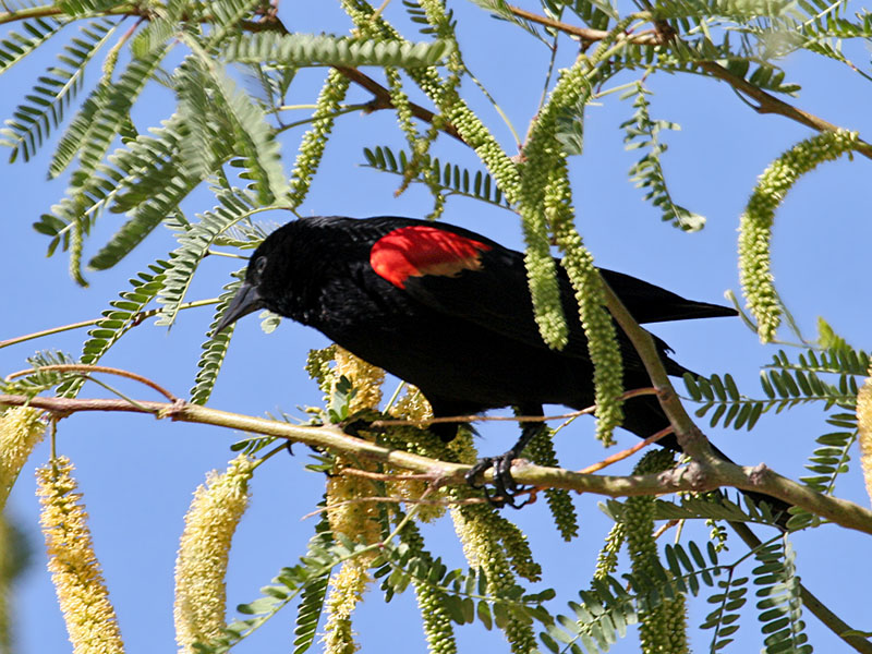 IMG_0298 Red-winged Blackbird.jpg