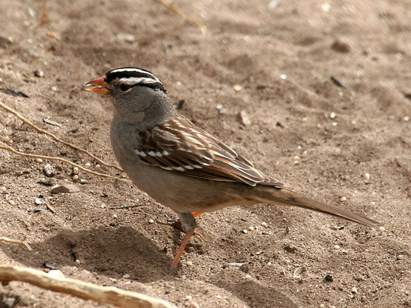 IMG_1690 White-Crowned Sparrow.jpg