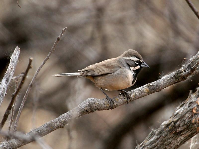 IMG_0412 Black-throated Sparrow.jpg
