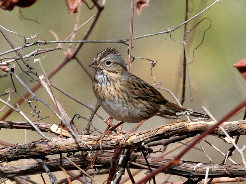 IMG_1521 Lincolns Sparrow.jpg