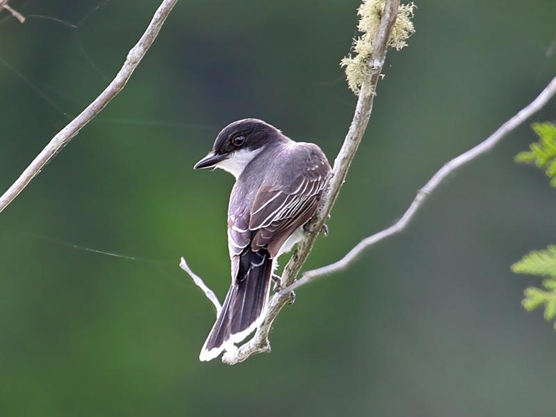 IMG_3949 Eastern Kingbird.jpg