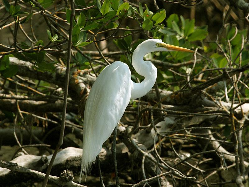 IMG_6436 Great Egret.jpg