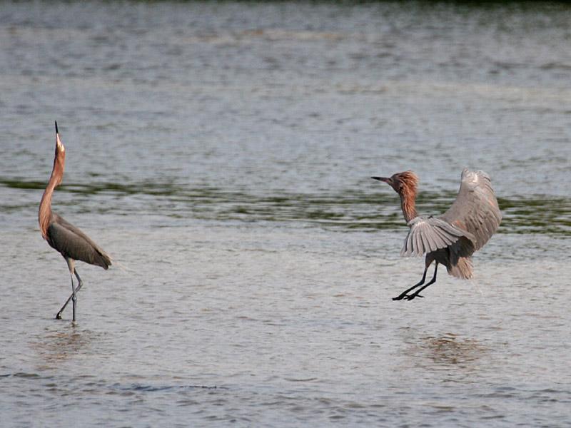 IMG_6176 Reddish Egrets.jpg