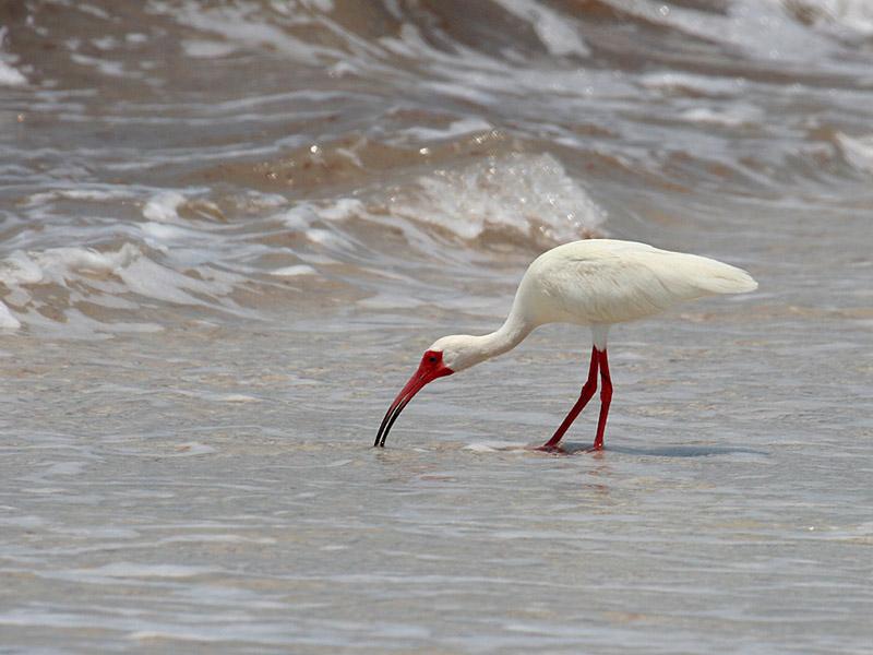 IMG_6276 White Ibis.jpg