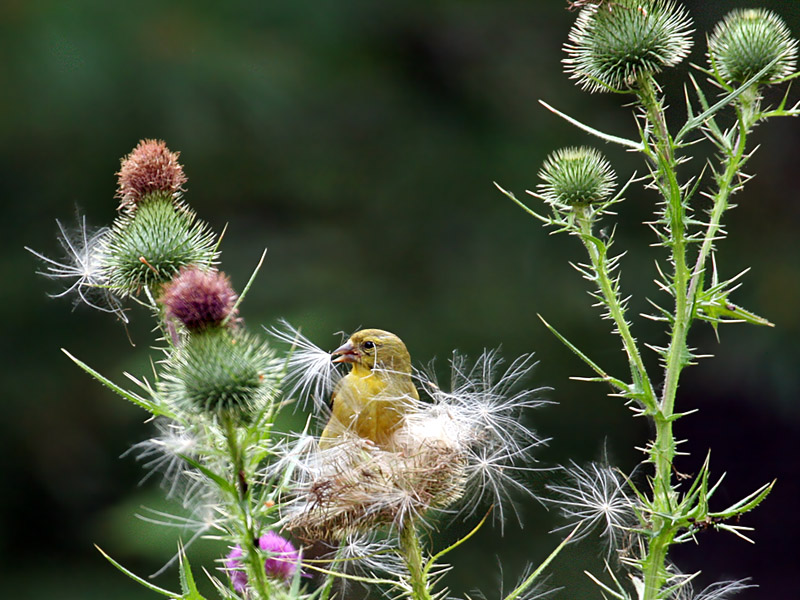 IMG_0209 American Goldfinch.jpg