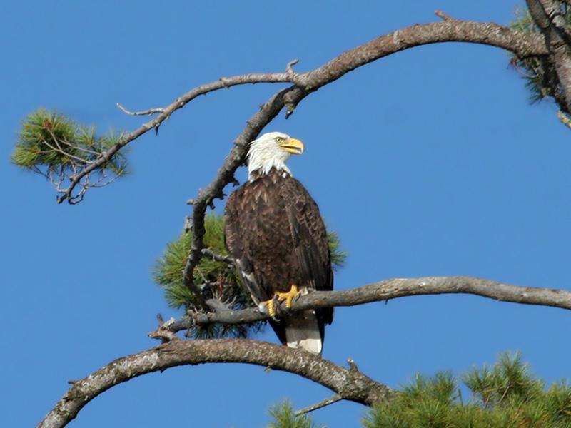 IMG_1208  Bald Eagle.jpg