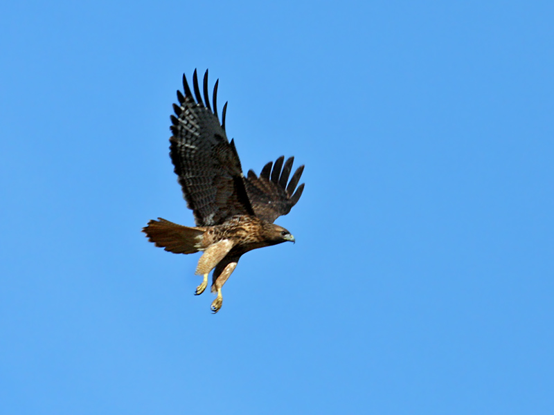 IMG_1065 Red-tailed Hawk.jpg