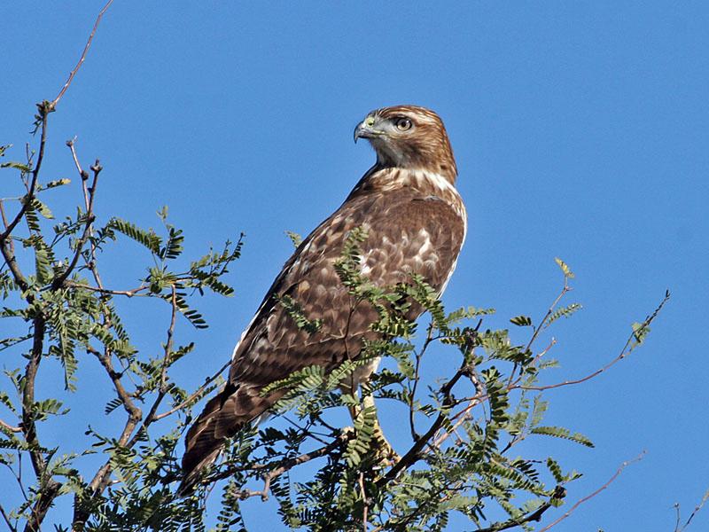 IMG_4896 Red-tailed Hawk.jpg