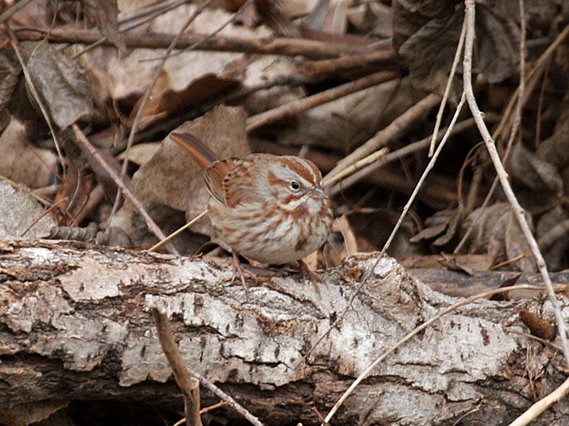 IMG_5136 Song Sparrow.jpg