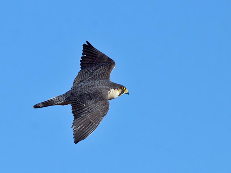 IMG_0437 Peregrine Falcon female.jpg