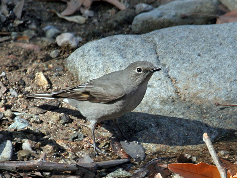 IMG_0357 Townsends Solitaire.jpg