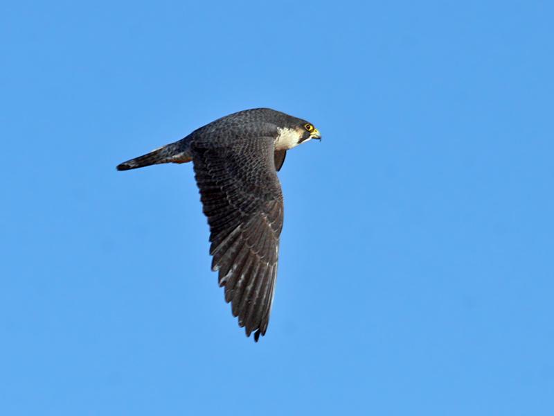 IMG_0438 Peregrine Falcon.jpg