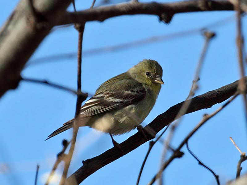 IMG_1395 American Goldfinch.jpg
