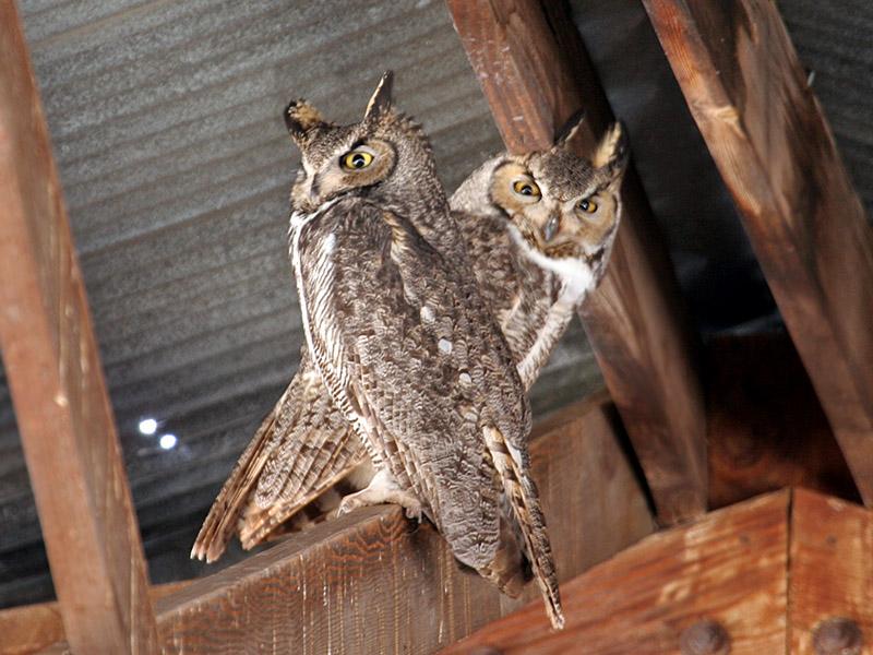 IMG_2108 Great Horned Owls.jpg