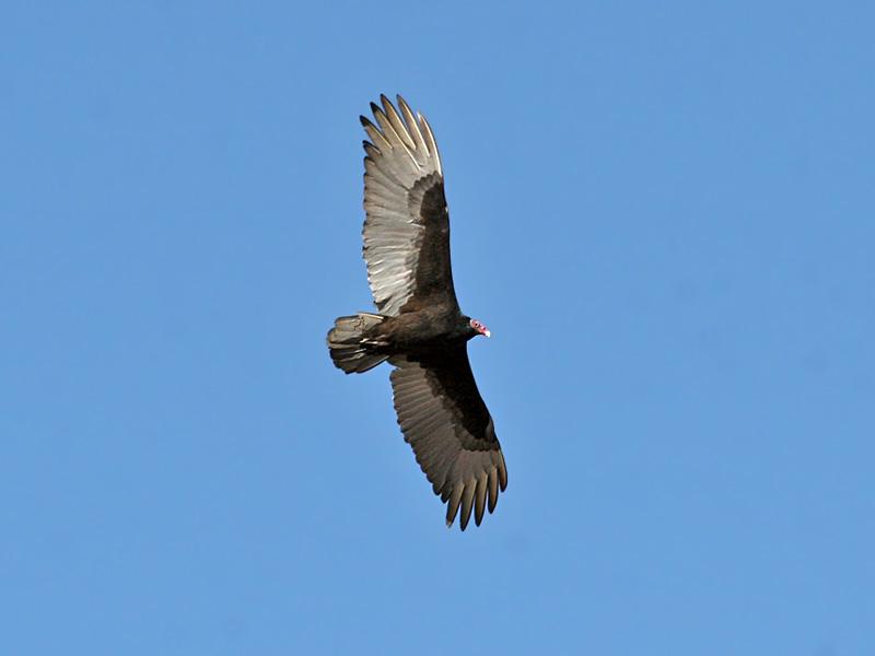 IMG_2949 Turkey Vulture.jpg