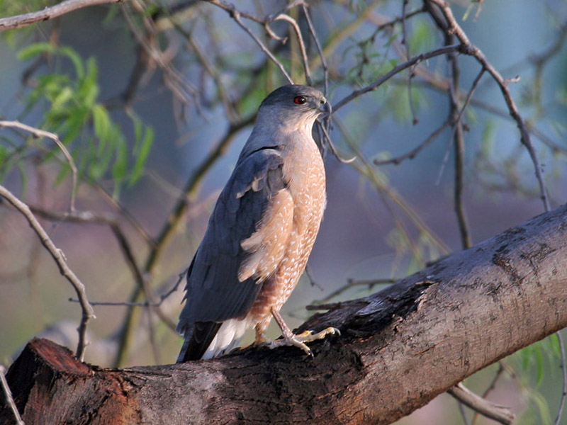 IMG_8588 Coopers Hawk.jpg