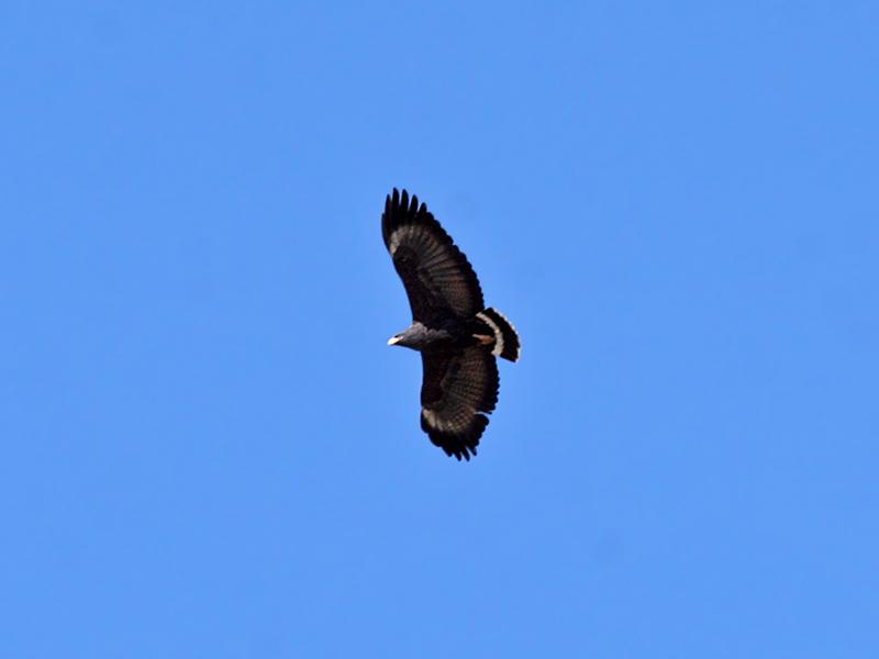 IMG_2881 Common Black-Hawk.jpg