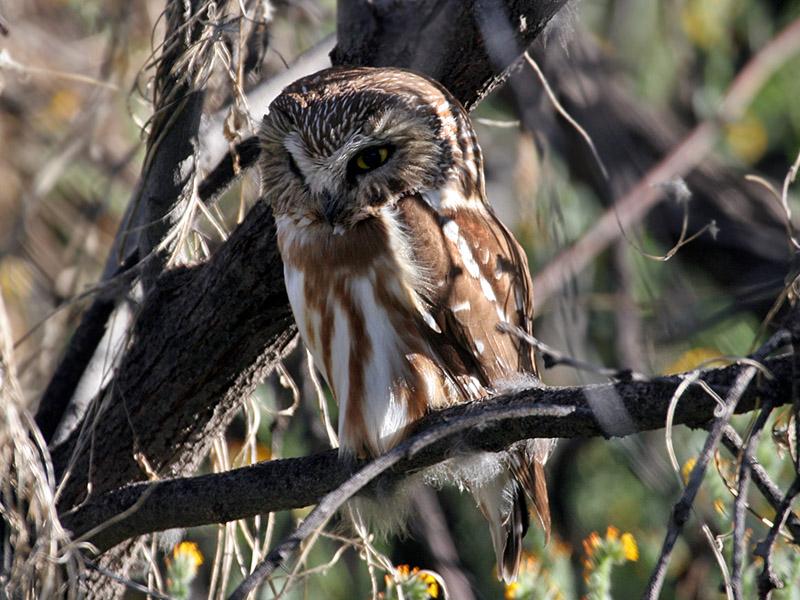 IMG_4342  Saw-Whet Owl.jpg