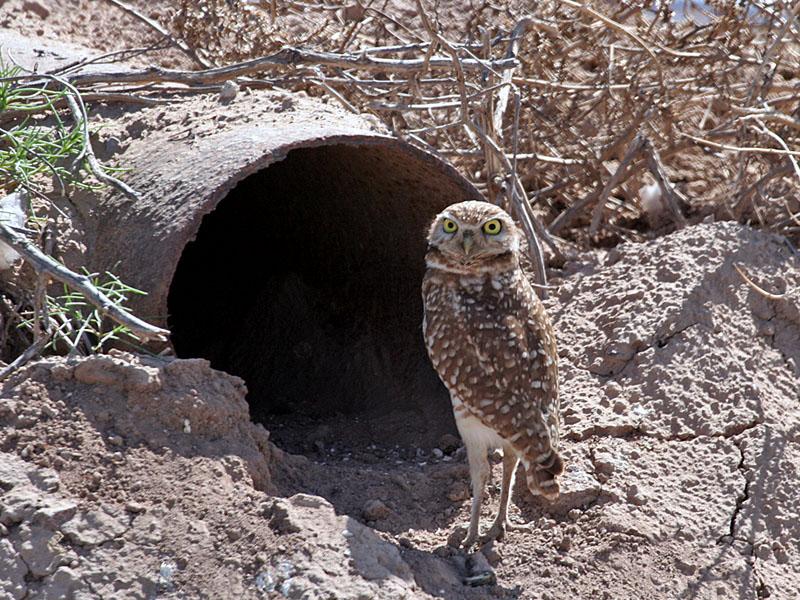 IMG_4460 Burrowing Owl.jpg